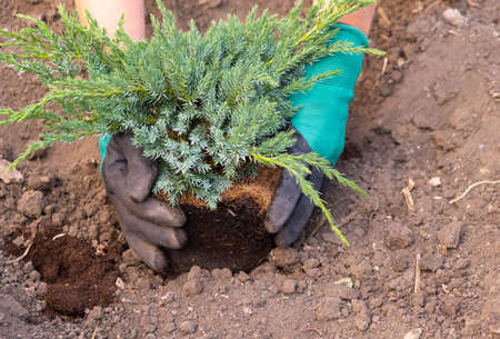 Gardener hands in gloves plants, transplants a coniferous Bush from the pot into the ground.