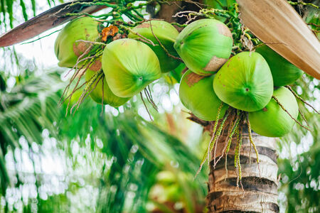 caribbean climate: coconuts on the palm tree in Asia