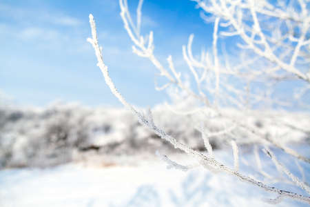 frozen trees: frozen trees with cool blue winter sky background