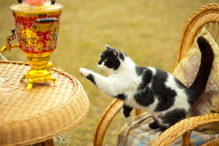 cat on rocking chair outdoors. Wicker furniture on picnic. Stock Photo