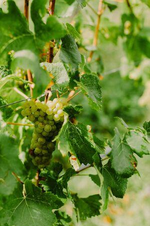 organic grape growing. White grape wineyard
