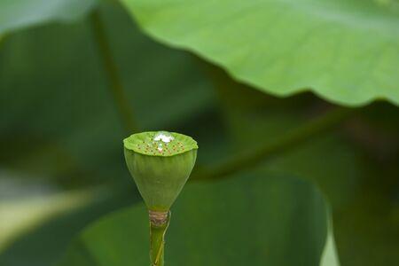 lotus seeds: Closeup of lotus seeds