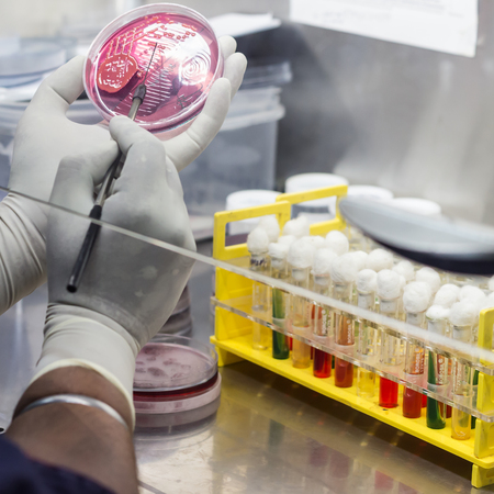 Inoculation on mac conkey agar on a culture plate using inoculation loop by scientist inside fume hood in microbiology laboratory Stock Photo