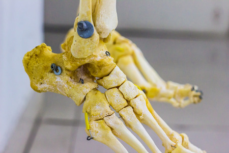 articulated tarsal metatarsal and phalanges bones showing human ankle joint anatomy in white background
