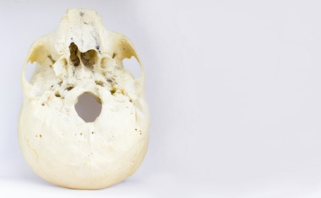 bottom view of base of the human skull showing maxilla and foramen magnum for anatomy in isolated white background.