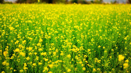 selective focus of yellow mustard flowers on green colored mustard plants in wide open field