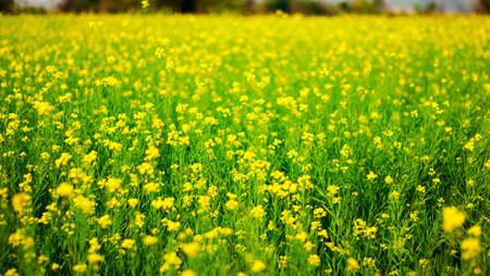 Selektiver Fokus von gelben Senfblüten auf grün gefärbten Senfpflanzen im weiten Feld