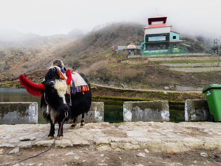 a riding yak decorated in dress and bells near tsomgo lake at sikkim india Stock fotó - 125083574