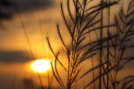 kush grass or kash ful close up macro image with golden sun light in the background with selective focus Stockfoto
