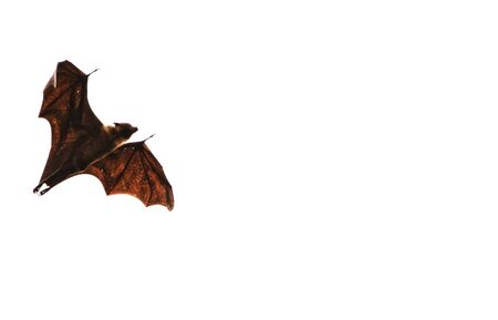 a vampire bat flying with wide spread wings in white background
