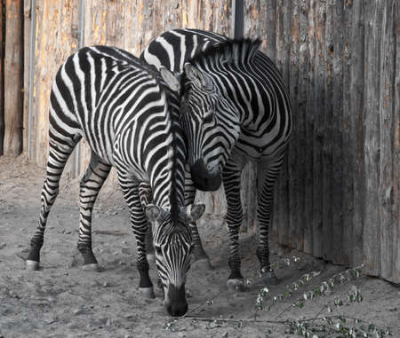 African mammal kind of horse that has striped coloring photo