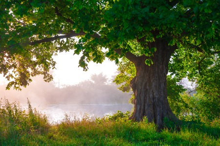 Oak tree in full leaf in summer standing alone Stockfoto