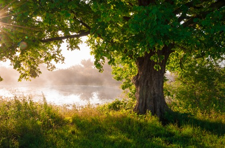 Oak tree in full leaf in summer standing alone Stock Photo