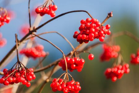 guelderrose: guelder-rose branch arrowwood berry red fruit tree.
