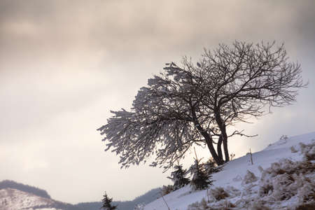 frost winter: Single tree in frost. Winter forest in mountains. Stock Photo
