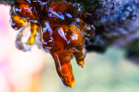outflow: Solid amber resin drops on a cherry tree trunk. Macro shot. Stock Photo