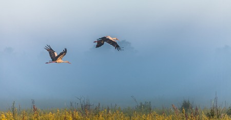 anastomus: The two storks fly over a field.