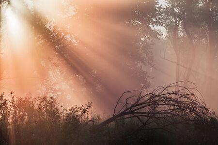 roble arbol: paisaje de verano densa niebla en el bosque de robles cerca del río en la madrugada Foto de archivo