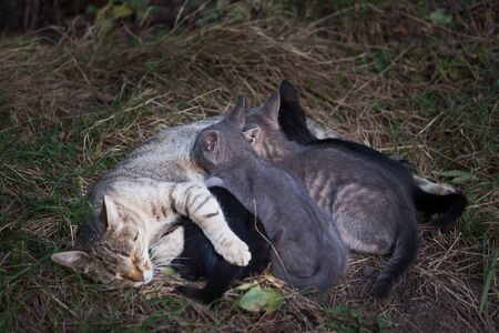 motherhood: Cat Nursing her Kittens. motherhood Stock Photo