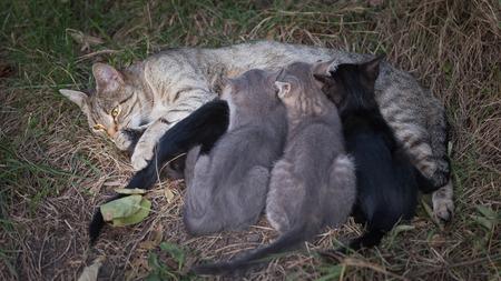 lactancia materna: Cat Nursing her Kittens. motherhood Foto de archivo