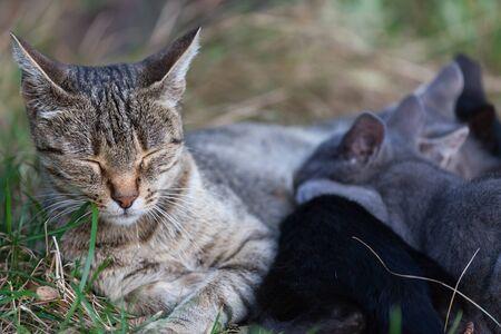 lactancia materna: Gato que cuida sus gatitos. maternidad