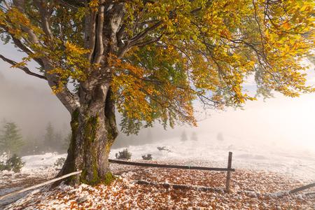 arbre feuille: La premi�re chute de neige. Le bouleau jaune laisse dans la neige.