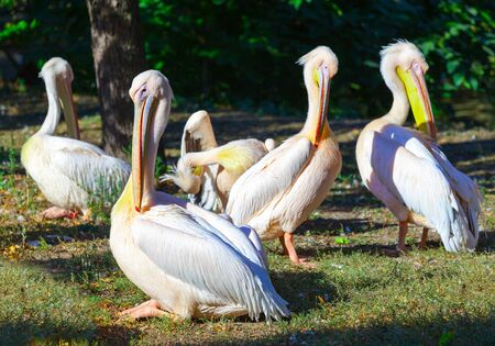 seabird: Pelicans enjoying the summer sun. Stock Photo