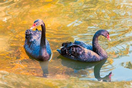 wet wallpaper: Black Swans. Black Swans. wild nature. wallpaper