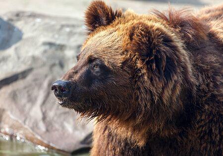 wet bear: Big Brown Bear. Big Brown Bear.  backgrounds nature