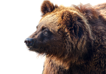 waddling: Big brown bear isolated on white background. Stock Photo
