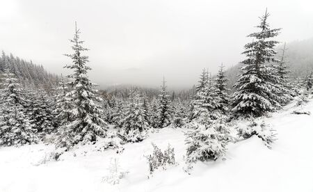 covered in snow: Spruce Tree foggy Forest Covered by Snow in Winter Landscape Stock Photo