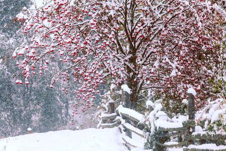 guelderrose: Red guelder-rose, under snow