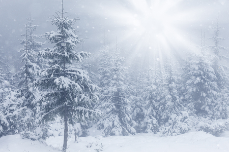 winterly: Beautiful winter mountains landscape with snowy fir forest.
