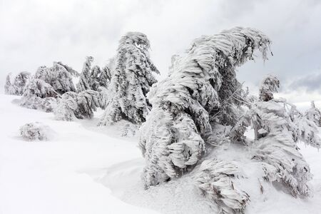 freshly fallen snow: Freshly fallen snow covers the branches of trees. Snow storm left trees in forest with thick coating of heavy ice and snow