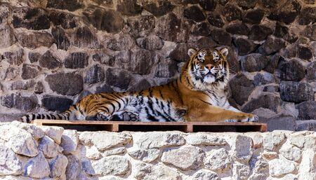 tigresa: Zoo. Un tigre de descanso para adultos
