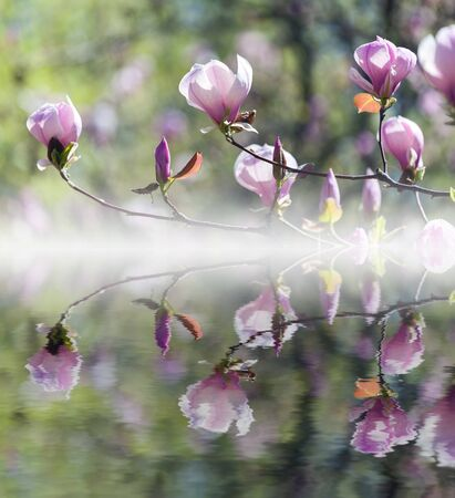 bloomy: Bloomy magnolia tree with big pink flowers reflected in water. Stock Photo