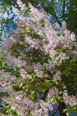 vulgaris: Syringa vulgaris (lilac or common lilac).
