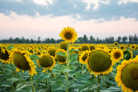 Stand out and be different concept photo. Sunflower head is above and stands out among all other sunflowers against the background of the evening sky and sunset