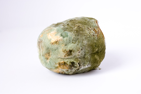 Fruit or vegetable is completely covered with mold on white background. Concept photo of improper storage of food preparation for study of properties of mold in science, botany, biology, agriculture Stock Photo