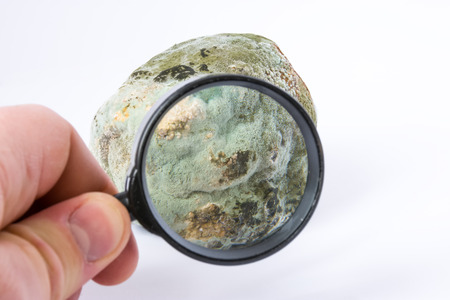Scientist defines of kind, inspection of spores or testing mold on fruits or vegetables with magnifying glass in hand in laboratory. Scientific concept photo of mold for research in botany or biology