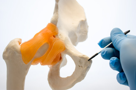 Doctor holding pointer points to pubic symphysis on anatomical models bones of human pelvis. Concept photo related with dysfunction, conditions, problems, diseases that accompany pubic symphysis
