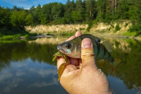 Fisherman holding freshly caught perch with hook and bait in form of larvae of dragonflies in hand on background bend in river with steep bank. Photo concept of successful fishing artificial lures