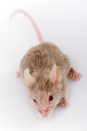 White mouse in front of on white background photo