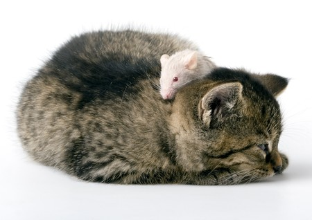 Child cat and grey mouse on white background Stock Photo - 4334092
