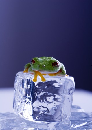 Red eyed tree frog photo