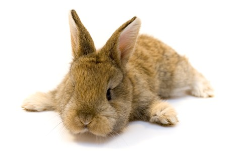 Rabbit on white background photo
