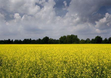 oilseed: Landscape Stock Photo