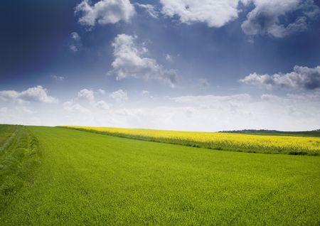 Oilseed rape photo