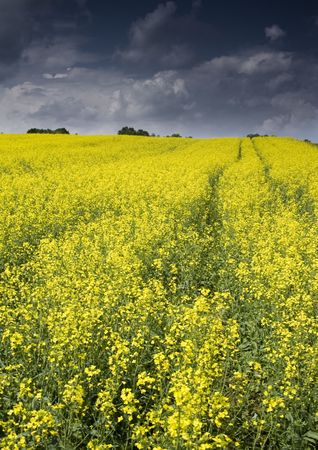 Oilseed rape photo