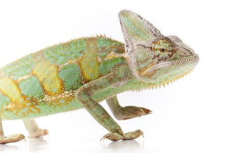 Close-up of big chameleon sitting on a white background Stock Photo